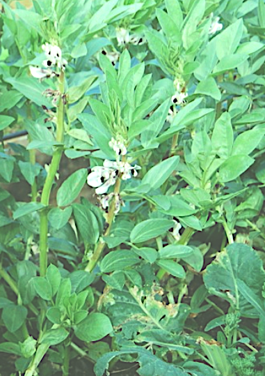 Fava Bean Bush.png